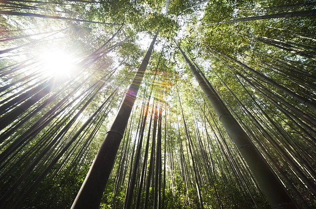 bamboo-364112_640-1